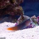 (海水魚)フタイロカエルウオ(1匹) 北海道・九州・沖縄航空便要保温
