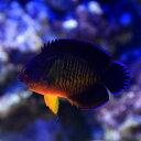 (海水魚 ヤッコ)マニラ産 ルリヤッコ(1匹)