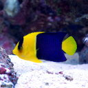 (海水魚 ヤッコ)ソメワケヤッコ MLサイズ(1匹)