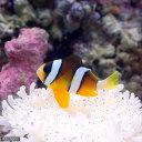 (海水魚)ナミクマノミ(ワイルド)(1匹)