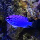 (海水魚)沖縄産 コバルトスズメダイ(1匹)