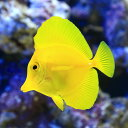 (海水魚)キイロハギ(1匹) 北海道・九州・沖縄航空便要保温