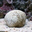 (海水魚 貝 無脊椎)リフジウムシェル サルボウミックス(1匹)
