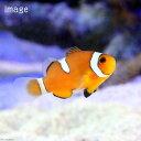 (海水魚)カクレクマノミ イレギュラーバンド(国産ブリード)(1匹)熱帯魚 北海道・九州航空便要保温