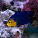 (海水魚 ヤッコ)チェルブピグミーエンゼル(1匹)