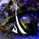 (海水魚)ハタタテダイ(1匹) チョウチョウウオ 北海道・九州航空便要保温