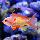 (海水魚)インドキンギョハナダイ オス(1匹)
