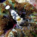 (海水魚 エビ)イソギンチャクカクレエビ(1匹)