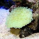 (海水魚)タマイタダキイソギンチャク おまかせカラー S−M...