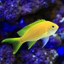 (海水魚)スミレナガハナダイ メス(1匹)