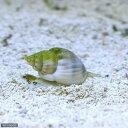 (海水魚 貝 無脊椎)イボヨウバイ 底砂とその他の掃除(1匹...