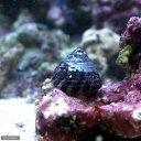 (海水魚 貝 無脊椎)レッドバンデッドスネール(1匹) 北海...