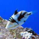 (海水魚)ムラサメモンガラ(1匹) 北海道・九州・沖縄航空便要保温