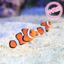(海水魚)沖縄産 カクレクマノミ(ワイルド)(1ペア)