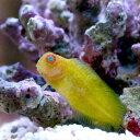 (海水魚)インドカエルウオ 幼魚(1匹) 北海道・九州・沖縄航空便要保温