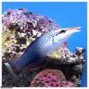 (海水魚)クギベラ メス(1匹) 北海道・九州・沖縄航空便要保温