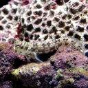 (海水魚)カエルウオミックス S−Mサイズ(1匹) 北海道・...