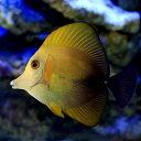 (海水魚)ゴマハギ 黄化個体(1匹) 北海道・九州・沖縄航空便要保温