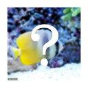 (海水魚)おまかせチョウチョウウオ(1匹) 北海道・九州航空便要保温