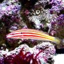(海水魚)アヤタスキベラ(1匹)