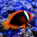 (海水魚)ハマクマノミ M−Lサイズ(ワイルド)(1匹)
