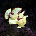 (海水魚)クマドリカエルアンコウ イエロー Sサイズ(1匹) 北海道航空便要保温