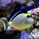 (海水魚)ミヤコテングハギ(1匹) 北海道・九州・沖縄航空便要保温