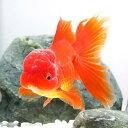 (国産金魚)オランダ獅子頭/オランダシシガシラ 飯田産 3歳(1匹)