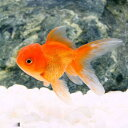 (金魚)バルーンオランダ獅子頭/バルーンオランダシシガシラ(1匹)