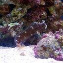 (海水魚)スターリーブレニー Mサイズ(1匹)