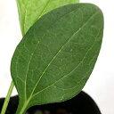 (観葉植物)ハーブ苗 エキナセア パープレア ホワイト 3号(1ポット) 家庭菜園