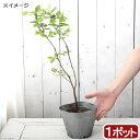 (観葉植物)果樹苗 ブルーベリー おおつぶ星(ハイブッシュ系) 5号(1ポット) 家庭菜園 北海道冬期発送不可