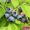 (観葉植物)果樹苗 ブルーベリー はやばや星(ハイブッシュ系) 5号 家庭菜園