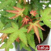 (盆栽)モミジ(椛) 苗 清姫 3号(1ポット)