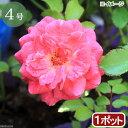 (観葉植物)バラ苗 ドリフトローズ スウィート 3〜4号 開花終了株(1ポット)