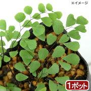 (山野草)ハコネシダ(箱根羊歯) 2.5号(1ポット)