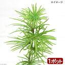 (山野草)盆栽 キンセンマツ(金銭松) 3号(1ポット)