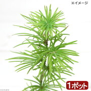 (盆栽)キンセンマツ(金銭松) 3号(1ポット)