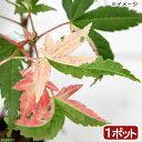 (山野草)盆栽 品種系モミジ 旭鶴(アサヒヅル) 3号(1ポット)