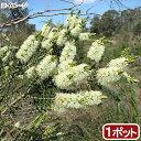 (観葉植物)メラレウカ センテッドペーパーバーク 3号(1ポット)【HLS_DU】