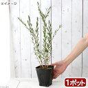 (観葉植物)カリステモン ドワーフボトルブラシ 4号(1ポット)【HLS_DU】