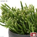 (観葉植物)リプサリス プリスマチカ 3.5号(1鉢)