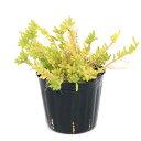 (観葉植物)リプサリス メセンブリアンテモイデス 3~3.5号(1鉢) 北海道冬季発送不可