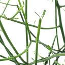 (観葉植物)ミルクブッシュ 2.5〜3.5号(1鉢)