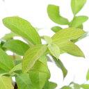 (観葉植物)果樹苗 ブルーベリー ラビットアイ ウッダード 5号(1ポット) 家庭菜園 関東当日便