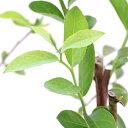 (観葉植物)果樹苗 ブルーベリー ラビットアイ ブルーシャワー 5号(1ポット) 家庭菜園 関東当日便
