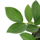 (観葉植物)果樹苗 ブルーベリー サザンハイブッシュ ケープフェアー 5号(1ポット) 家庭菜園 関東当日便