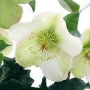 (観葉植物)クリスマスローズ モリーズホワイト 5号(1鉢) 北海道冬季発送不可