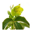 (観葉植物)クリスマスローズ トウィンクル アグチフォリウス サファイア 3.5号(1ポット) 北海道冬季発送不可