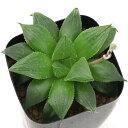 (観葉植物)品種系ハオルチア 美透明窓紫クォーツ 2.5号(1鉢)